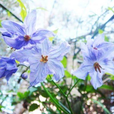fleur de Solanum amygdalifolium