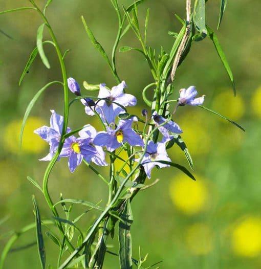 Solanum amygdalifolium en fleur