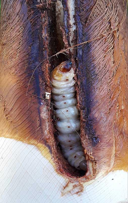 Larve de papillon du palmier, Paysandisia archon, mise à jour dans sa galerie