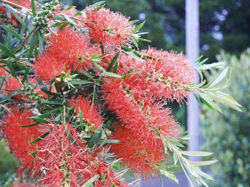 Callistemon linearifolius en fleurs