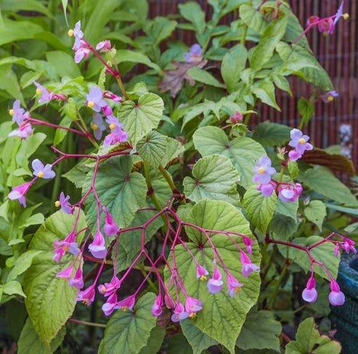 bégonia rustique, Begonia grandis, Begonia evansiana