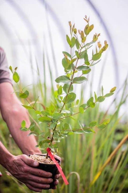 Eucalyptus brookeriana de notre production