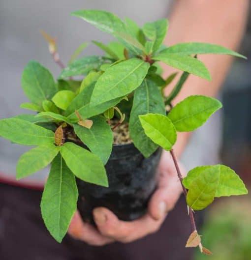 Ficus tikoua de notre production