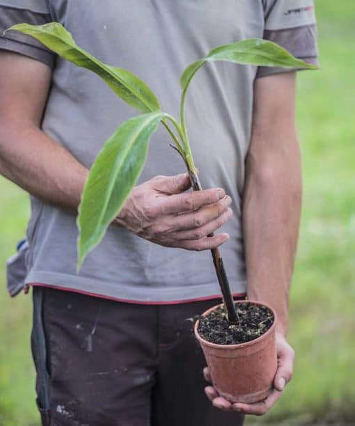 Musa balbisiana Atia Black, Black Thai