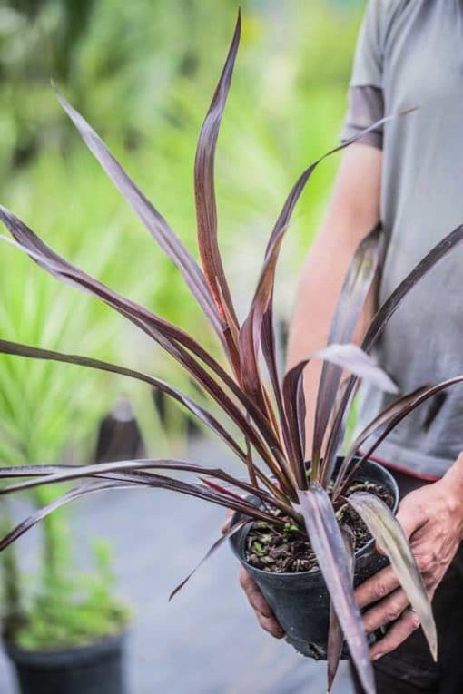 Cordyline Renegade de notre production