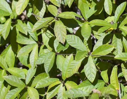 Ficus tikoua, figuier rampant