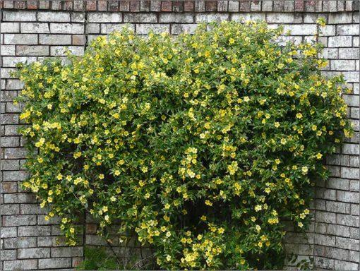 Gelsemium sempervirens, Jasmin de Californie, en pleine fleur