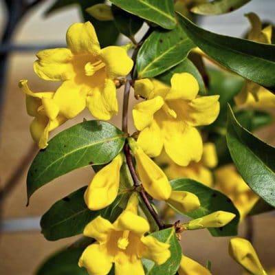 Gelsemium sempervirens, Jasmin de Californie