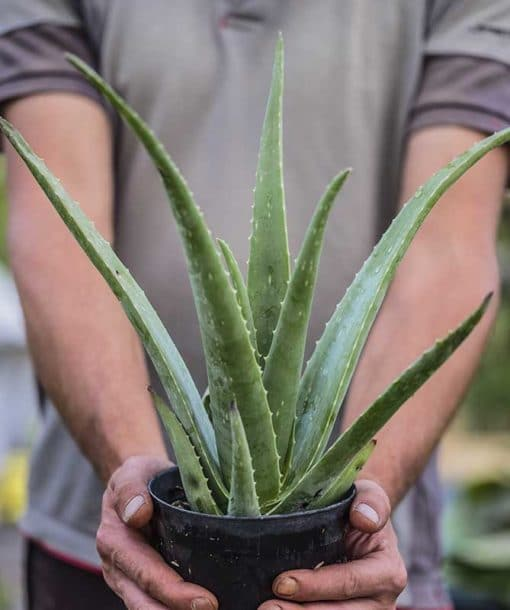 Aloe vera de notre production