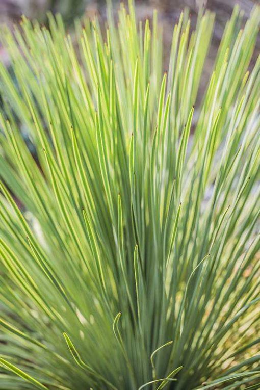 Détail du feuillage de Yucca linearifolia