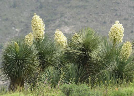 Yucca linearifolia, le yucca à feuilles linéaires, en fleur