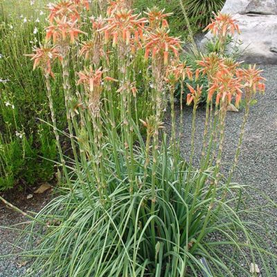 Aloe cooperi en fleurs