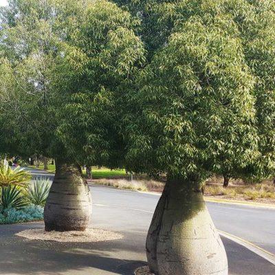 Baobab australien, Brachychiton rupestris