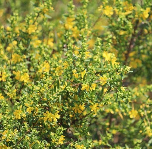 Heimia salicifolia, le sinicuichi, en fleurs