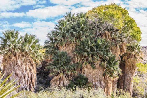 Washingtonia filifera Palm Canyon