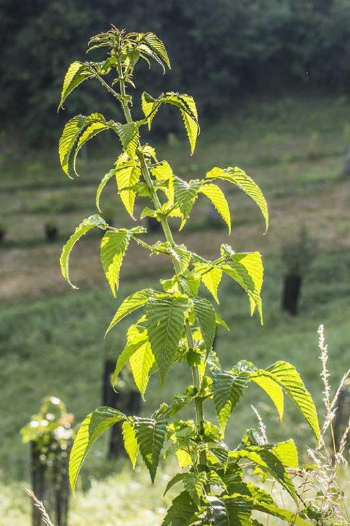 Rubus macilentus, ronce de l'Himalaya, ronce indienne tachetée