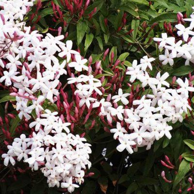 Jasmin, Jasminum polyanthum, en fleurs