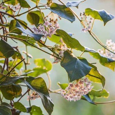 Dregea sinensis en fleur