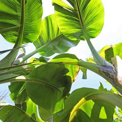 Feuillage de Musa yunnanensis