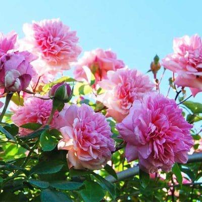 Rose Paul Noël en fleurs
