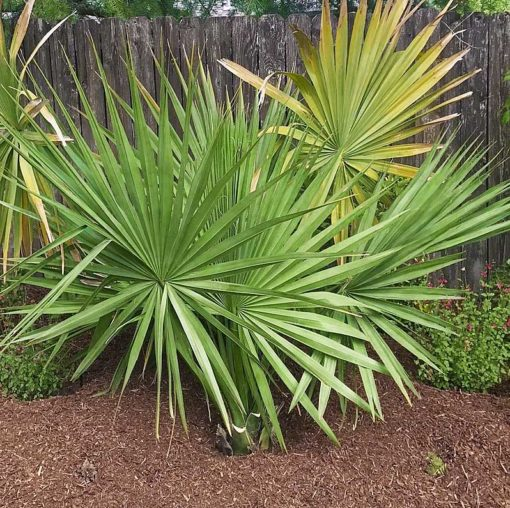 Sabal minor Cherokee adulte