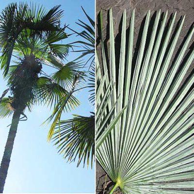 Trachycarpus Nova