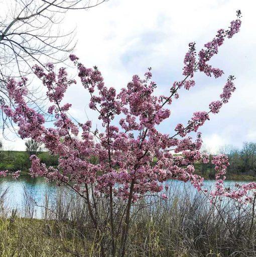 Floraison d'Ungnadia speciosa, le marronnier du Mexique