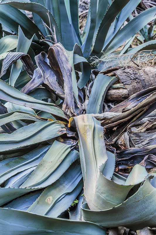 Agave americana atteint par Scyphophorus acupunctatus, le charançon de l'agave
