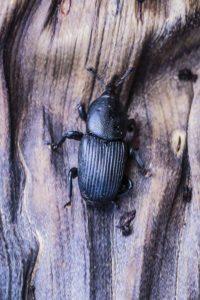 Scyphophorus acupunctatus, charançon de l'agave