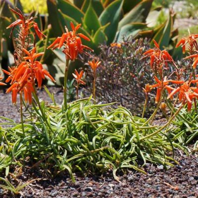 Aloe thompsoniae en fleurs