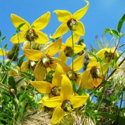 Floraison de Clematis tangutica Radar Love