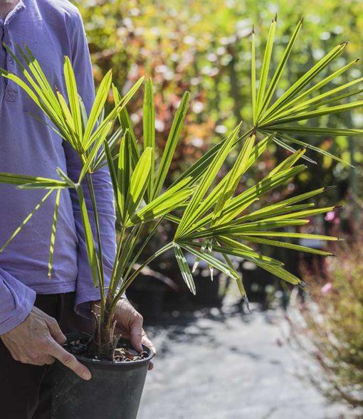 Plant de Trachycarpus x takagii de notre production