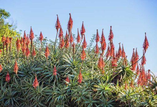 Aloe arborescens en fleurs