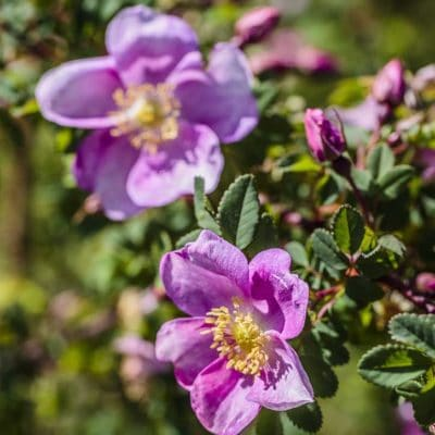 Rosa Mary Queen of Scots en fleur