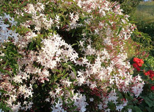 Jasmin à fleurs nombreuses, Jasminum polyanthum