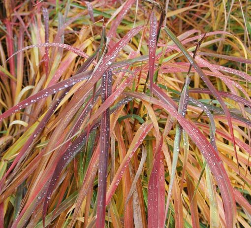 Miscanthus Ghana, roseau du Japon rouge, eulalie