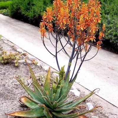Aloe fosteri, aloès de Foster en fleurs