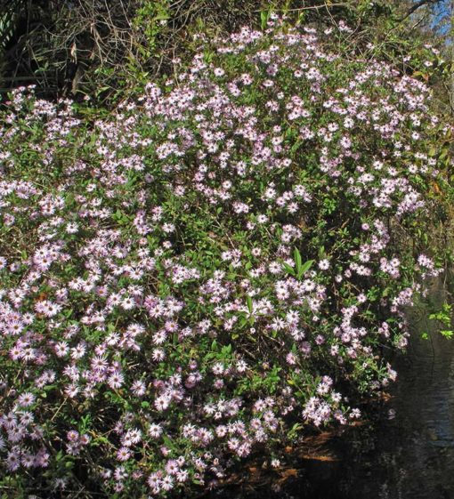 Ampelaster carolinianus, aster grimpant, en fleurs