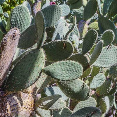 Opuntia leucotricha, cactus à poils blancs