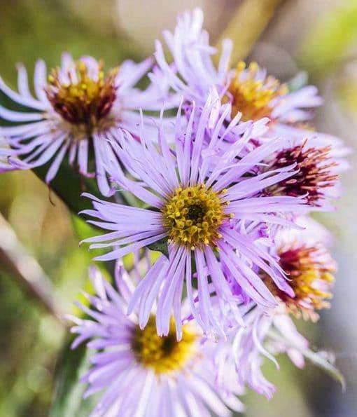 fleur de l'aster grimpant, Ampelaster carolinianus