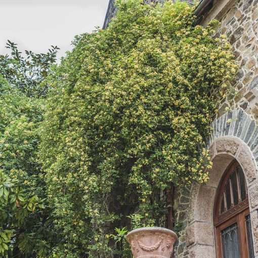 Rosier de Banks jaune à fleurs doubles, Rosa banksiae Lutea Plena