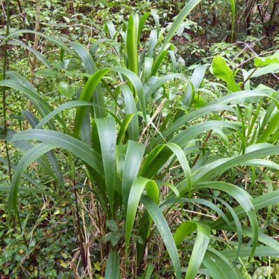 Pennisetum latifolium, herbe fontaine géante