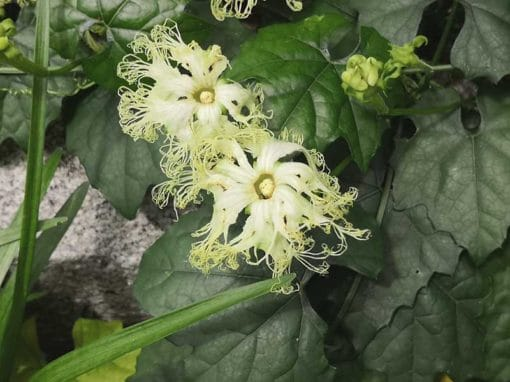 Fleur de Trichosanthes kirilowii, concombre japonais