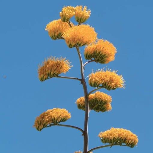 Floraison d'Agave chrysantha