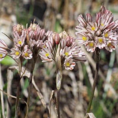 fleur d'ail pédicellé, Allium callimischon