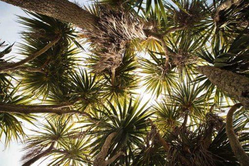 Canopée de Cordyline australis