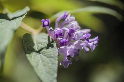 Fleur de Buddleia curviflora, buddléia aux fleurs courbes