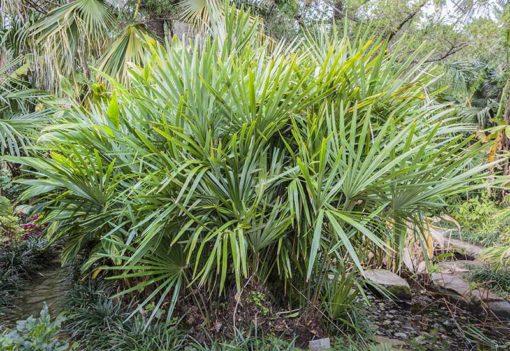Palmier porc epic, Rhapidophyllum hystrix