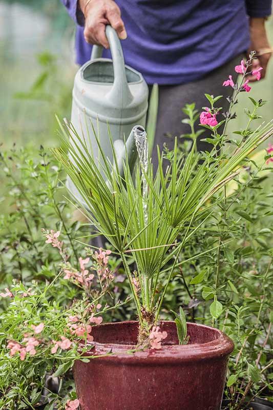 Arrosage d'un palmier doum, Chamaerops, cultivé en pot