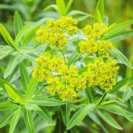 Floraison d'Euphorbia nereidum